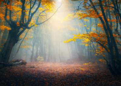 Enchanted autumn forest in fog in the morning. Old Tree